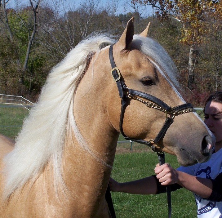 Palomino Morgan stallion